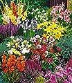 """BALDUR-Garten Sommerblüher Spar-Paket 100 Zwiebeln im Mix 14x Freesien-Mix, 10x Prachtscharte, 10x Gladiolen-Mix, 40x Anemone """"De Caen"""", 10x Iris """"Blue Magic"""", 10x Stern-Gladiole, 3x Lilie """"Stargazer"""" und 3x Lilie """"Yellow Country"""" von Baldur-Garten bei D"""