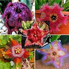 Keland Garten - 100 Stück Farbig Kaktus Saatgut Selten Kakteen Haage Blumensamen Exotic Samen winterhart, geeignet für Balkon, Kopf, Garten, Terrasse, Fenster
