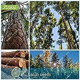 ZLKING 50 Larice Seed pinoli bonsai Piante Per la casa Giardino Bonsai pianta in vaso in rapida crescita semi di albero