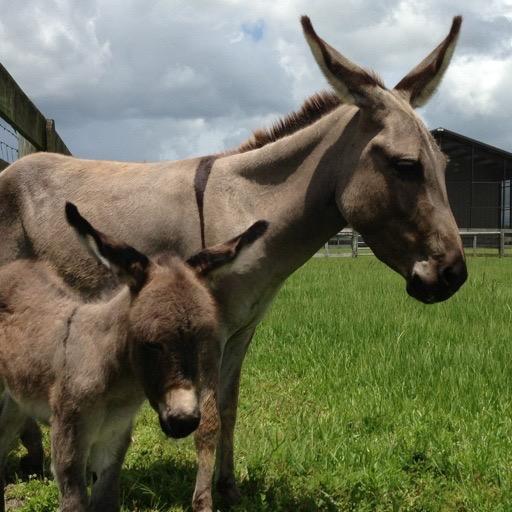 Baby Donkey Wallpaper --  HD Wallpapers of Baby Donkeys!