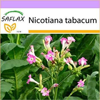 Bauerntabak Nicotiana rustica seeds saatgut 250 Samen Bauern Tabak