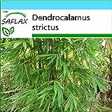 SAFLAX - Set regalo - Bambú de Calcuta - 50 semillas - Con caja regalo/envío, etiqueta para envío, tarjeta de felicitación y