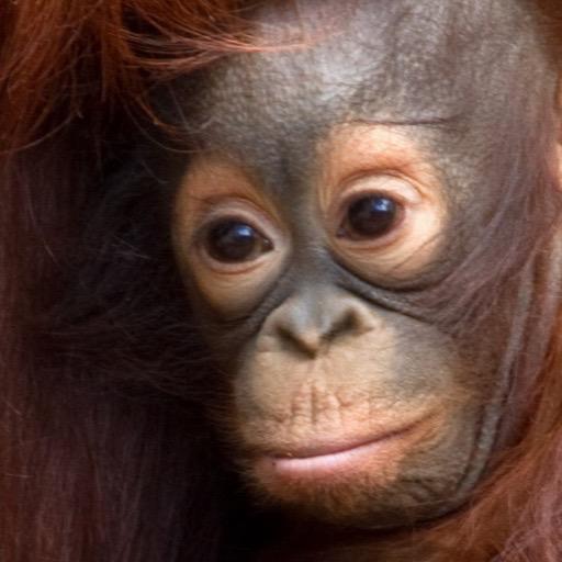Baby Orangutan Wallpaper Hd Wallpapers Of Baby Orangutans
