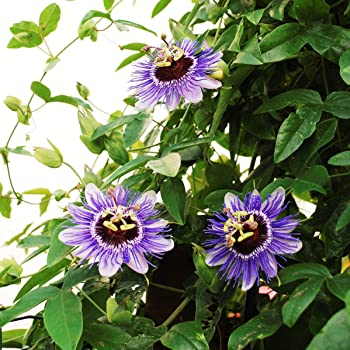passionsblume passiflora caerulea kletterpflanze winterhart immergr n 1 5 liter topf. Black Bedroom Furniture Sets. Home Design Ideas