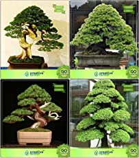 Bonsai Suitable Seeds : Bonsai Suitable Plant Seeds Combo Pinus Petula , Pinus Roxburghaii, Bald Cypress, Cryptomaria Japonica Garden Seeds Pack By Creativefarmer