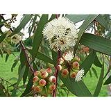 Asklepios-seeds© - 150 semillas Eucalyptus pauciflora, el eucalipto de nieve