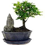 Ginseng Ficus : L'arbre de bonsaï parfait pour le débutant