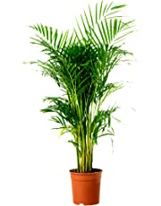 Plantsguru Areca Palm Live Indoor Air Purify House Plant with Pot (Size: 2 to 3 feet)