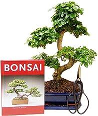 Anfänger Bonsai-Set Liguster, ca. 30-35cm, 4 teiliges Sparset (1 Liguster-Bonsai, 1 Schere, 1 Untersetzer, 1 Bonsaibuch)