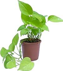 Root Bridges Golden Money Plant (Pot Included)