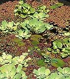 20 Schwimmpflanzen 4 Sorten für Gartenteich
