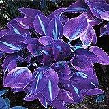TOYHEART Semillas De Flores Premium, 1 Bolsa Hosta Seeds Aesthetic Easy Grow 3 Colores Semillas De Flores Naturales Para Jard