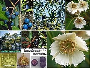 "Rare Rudraksha (रूद्राक्ष) Religious Tree""Shiva's teardrops"" 1 Healthy Live Plant"