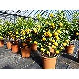 Calamondin Orangenbaum Citrus 70-80 cm Zitruspflanze
