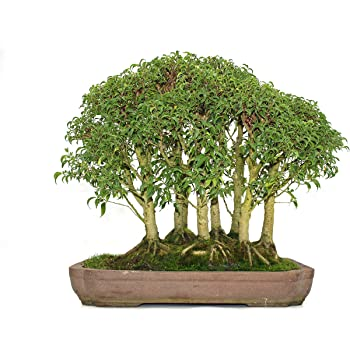 bonsai solit r gro in schale inkl landschaft birkenfeige ficus pandora ca 20 jahre alt. Black Bedroom Furniture Sets. Home Design Ideas