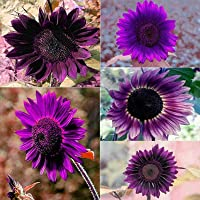 Benoon Graines De Tournesol, 50Pcs Graines De Tournesol Plantes à Fleurs Vivaces Violettes Pots De Fleurs Graines De…