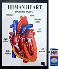 Human Heart Working Model Science Project