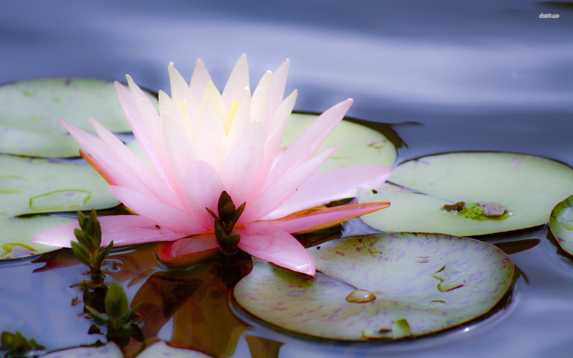 Lotus Flower Live Wallpaper Amazon Appstore For Android