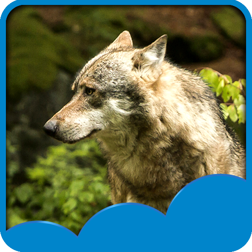 Wolf Live Hintergrundbilder (Schnee Leistung)
