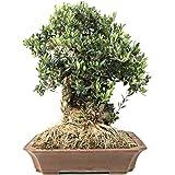 Bloom Green Co. ¡Promoción!20 Unids Raro Olivo Bonsai de Olivo (Olea Europaea) Mini Planta de Ãrbol Para Jardín en Casa, Mac