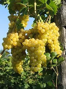 Vitis vinifera Primus | kernlose weiße Weintraube