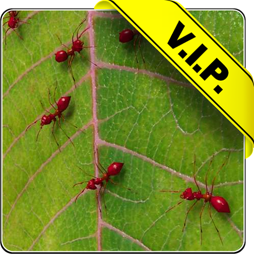 fourmis-rouges