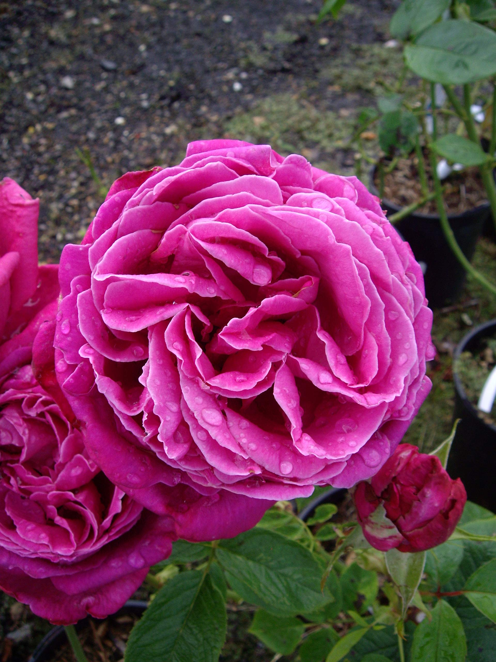 ROSE BIRTHDAY BOY Ideal Plant Flower Birthday Gift For MenHim