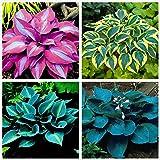 Embellecer el medio ambiente,Planta decorativa mágica,Hosta pflanze,Flores reverdecimiento ambientales,Plantar ahora-3 Bulbos