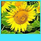 Sunflower Live Hintergrundbilder