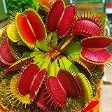 Dionaea Semillas, 100 piezas / bolso Semillas atrapamoscas de Venus completa Sun carnívora ácida del suelo Semillas Bonsai Ga