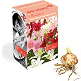 Plant & Bloom bulbos de Lilium Holandeses, 12 bulbos - Fácil de Cultivar - para la siembra de Primavera en su jardín - Calida