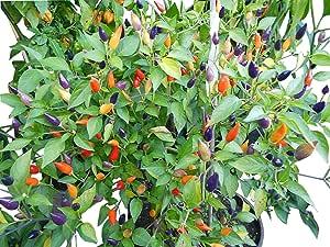 Bird Aji Wildchili rote Chili aus Bolivien mit kleinen scharfen Früchten