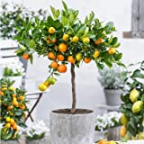 50 Pcs/sac Rare Dipladenia Sanderi Graines vivaces Escalade Mandevilla Sanderi fleurs en plein air Jardin Bonsai plantes ornementales 19