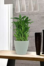 Exotic Green 3 Layer Bamboo Indoor Plant