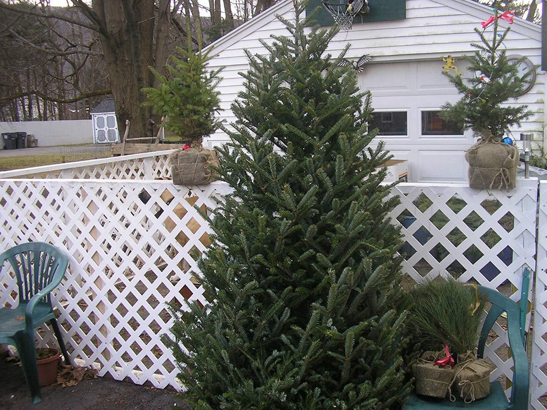 100-Fraser-Tanne-Seed-Weihnachtsbaum-Evergreen-schnell-wachsende-Bume