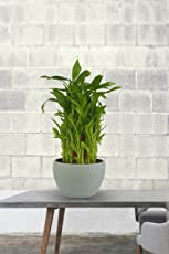 Exotic Green Indoor Feng Shui 3 Layer Bamboo Plant