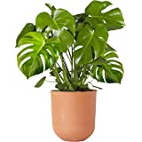 Indoor 40-50cm Potted | Monstera Deliciosa Swiss Cheese Plant