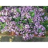 Saponaria ocymoides semillas de flores de Ucrania