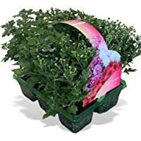 6 x Large Garden Ready Autumn Plants Bedding Pack – Each Plant Is The Same Size As Grown In A 10.5cm Pot. Three Mixed Colours For Containers, Baskets, Patios, Beds. Doorstep Plants Chrysanthemum Blush