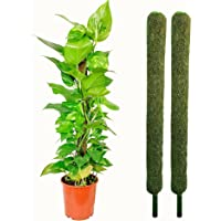 Leafy Tales Moss Stick- Green Grass Pole for Plants Support, Moss Stick for Money Plant, Climbing Indoor Plants (Set of…