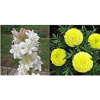 Kraft Seeds Rajnighandha or Tuberose Flower Bulbs (White, Pack of 8 Bulbs) & Garden Mix of Gainda/African Marigold Flower (Height 30-40 cm, Multicolour, 1000 Pieces) Combo
