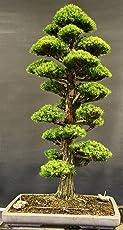 Creative Farmer Imported Cryptomaria Japonica Bonsai Suitable Seeds