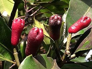 Rare Clove Syzygium aromaticum Expensive Spice Plant(1 Healthy Live Plant)
