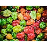25 Graines de Piments Antillais Habanero légumes jardins potager méthode BIO