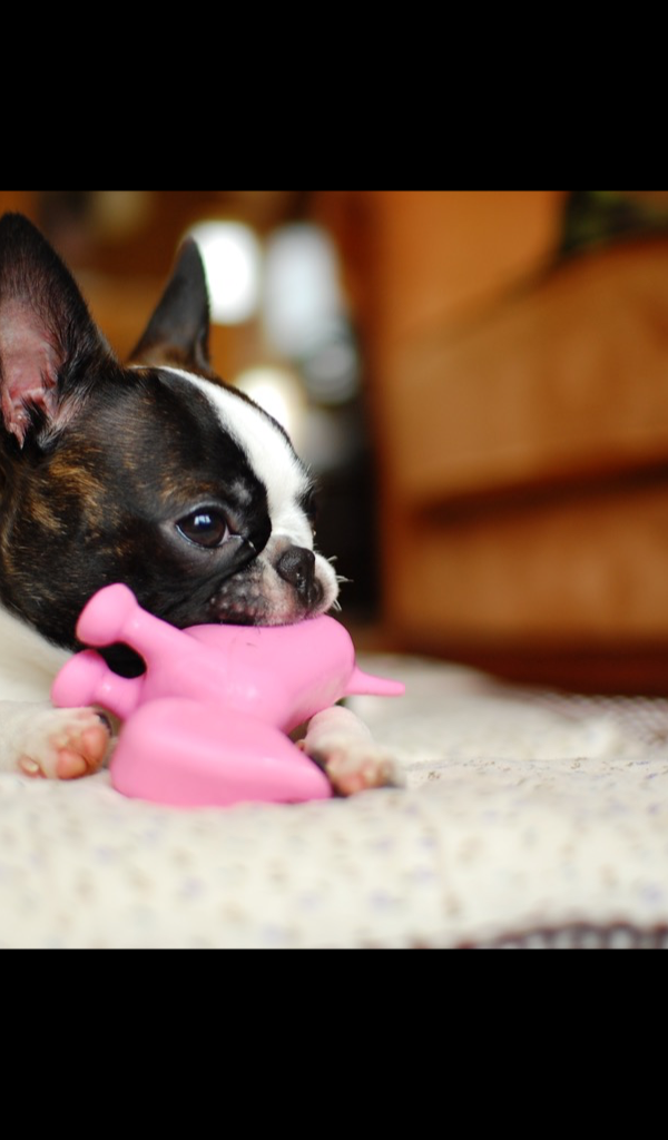 Boston Terrier Wallpaper HD Wallpapers Of Amazoncouk Appstore For Android