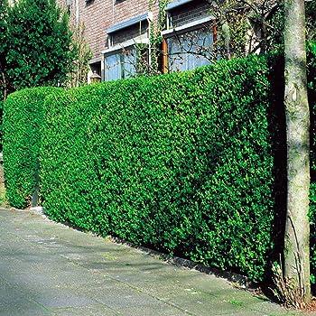 liguster hecke 50 heckenpflanzen