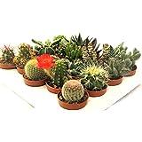 20 cactus y suculentas naturales, raras y coleccionables, con y sin espinas, una diferente de la otra, 5,5 cm. Producción de