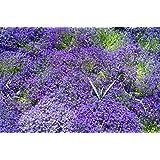 RWS Blaukissen azules 120 semillas, Aubrieta Azul