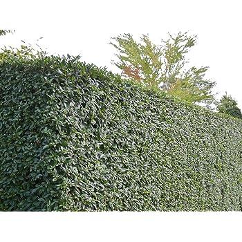 Heckenpflanze Liguster Atrovirens 80 bis 100 cm im Container 5 Stück