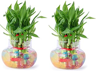 Agami Green 2 Layer Lucky Bamboo Indoor Plant for Feng Shui with Big Round Glass Pot & Colored Jelly Balls (Pack of 2)